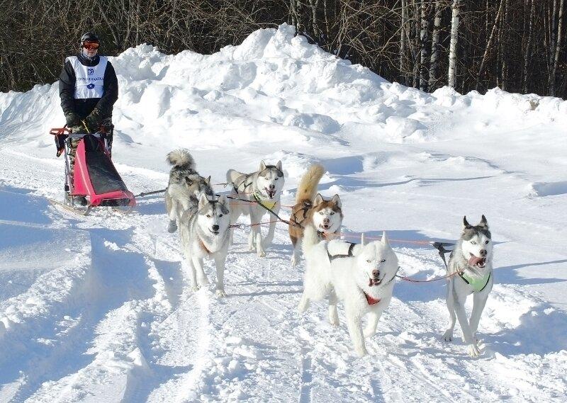 Вcе о гонках на собачьих упряжках